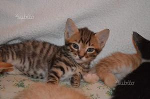 Gattino maschio in regalo