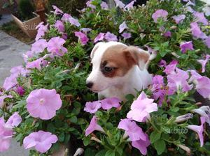 Jack russel rassel russell terrier cuccioli