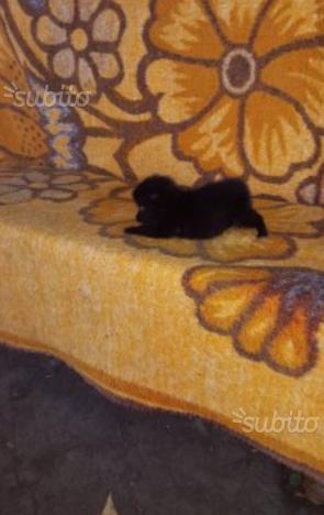 Volpino spitz piccolissimo nero