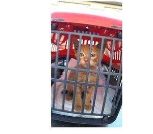 Regalo gattino rosso meraviglioso