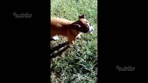 Bulldog francese cucciola
