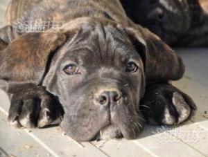 Cane corso cucciolo con pedigree enci