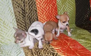 Chihuahua maschi e femmine
