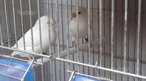 Coppia di canarini bianchi