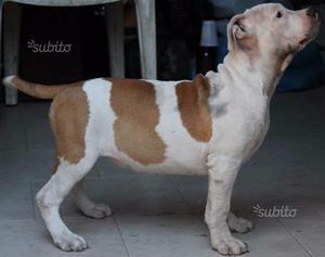 Cucciola disponibile pitbull ukc pedigree mckci