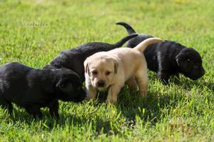 Cucciola labrador retriever con pedigree