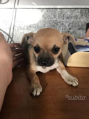 Cuccioli di chiwawa pincher mini toy
