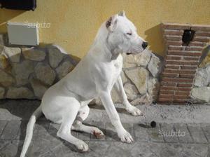 Cuccioli di dogo argentino di 3 mesi