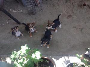 Cuccioli jack Russel Beagle
