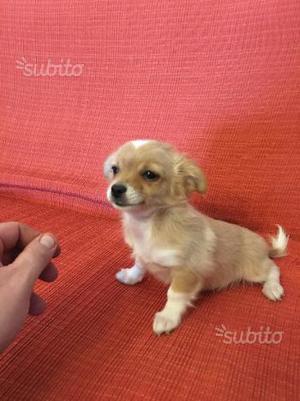 Cucciolo incrocio pinscher nano e chihuahua