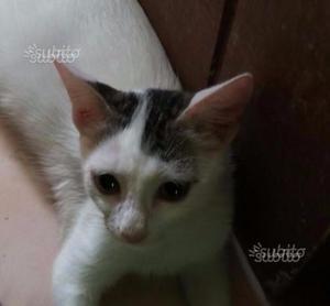 Gattina di 2 mesi