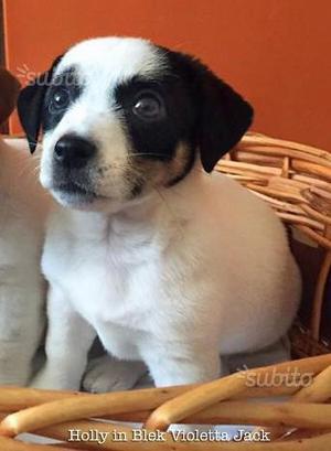 Jack Russell cucciola tricolore pelo liscio