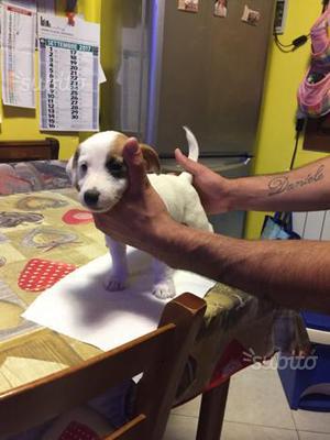 Jack Russell terrier puri