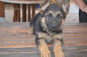 Pastore tedesco cuccioli con pedigree