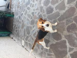 Regalo cane razza beagle