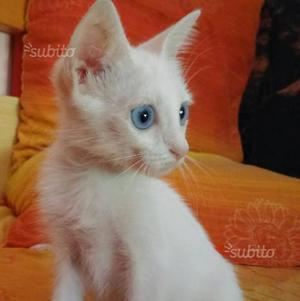 Regalo gattina di 2 mesi