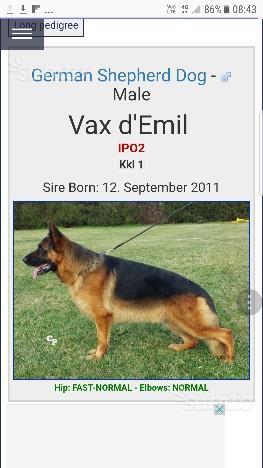 Splendida cucciola Pastore tedesco