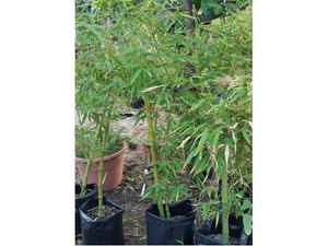 Bamboo gigante Phyllostachys viridis mitis