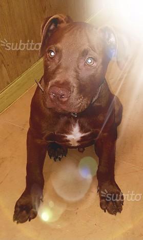 American pitbull terrier ukc red nose