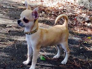 Chihuahua Pedigree ENCI