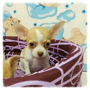 Chihuahua femmina bianco arancio