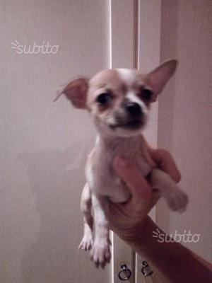 Chihuahua femmina di due mesi e mezzo beige