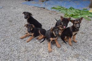 Cucciole Pastore tedesco/belga