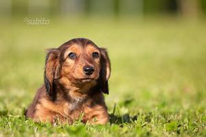 Cuccioli bassotto pelo lungo e corto