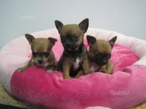 Cuccioli di mini chihuahua