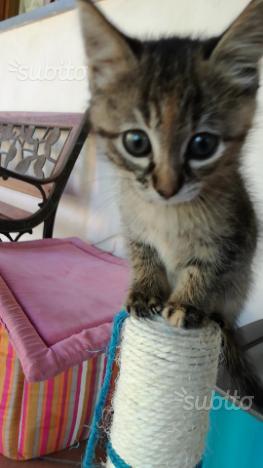 Gattina meticcia tigrata a pelo lungo con tutto