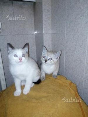 Gattini incrocio
