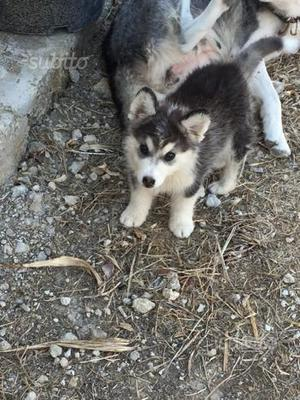 Husky siberian 3 mesi maschio