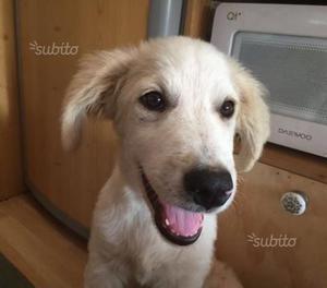 JERRY & JENNY cucciole mix Labrador/Golden Retriev