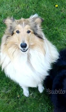 Maschio pastore scozzese