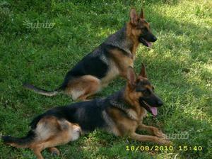 Pastore tedesco cuccioli allevamento