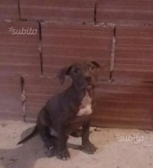 Pitbull ukc cuccioli