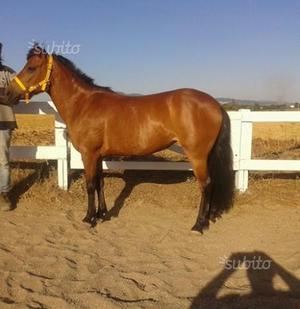 Pony olandese