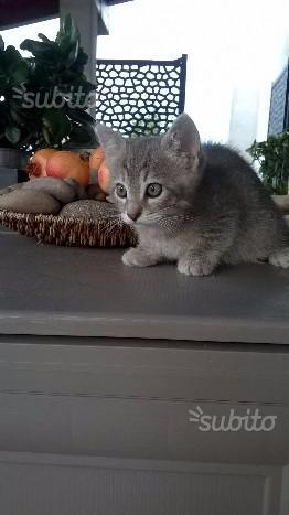 Regalo gattini di 45 giorni
