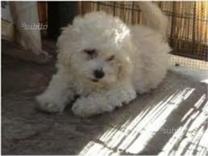 Ultima cucciola barboncina nana