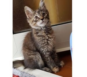 Cucciolo femmina di gatto Maine Coon disponibile a Torino