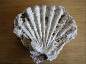 Impronta di fossile di ostrica