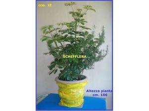 Pianta ornamentale scheflera arboricola da interni posot - Pianta schefflera ...