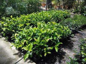 50 piante di bosso posot class - Piante siepe ...
