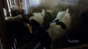 Capra da latte + figlia 7 mesi