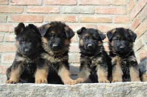 Cuccioli di pastore tedesco con pedegree