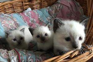 Gatti siamese thai