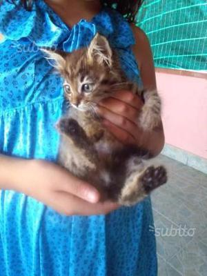 Gattini mix europeo vaccinati giocherelloni