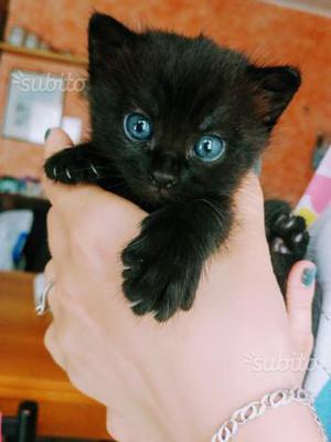 Regali gattini neri