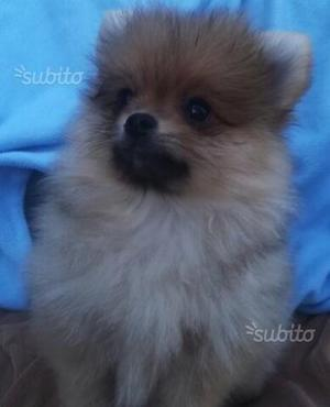Spitz Pomerania mini toy