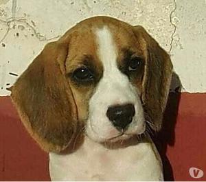 Beagle femmina elisabeth 3 mesi vaccinata con pedigree